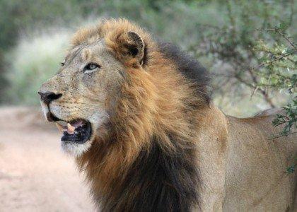 Tu mayor obstáculo puede ser un león imaginario